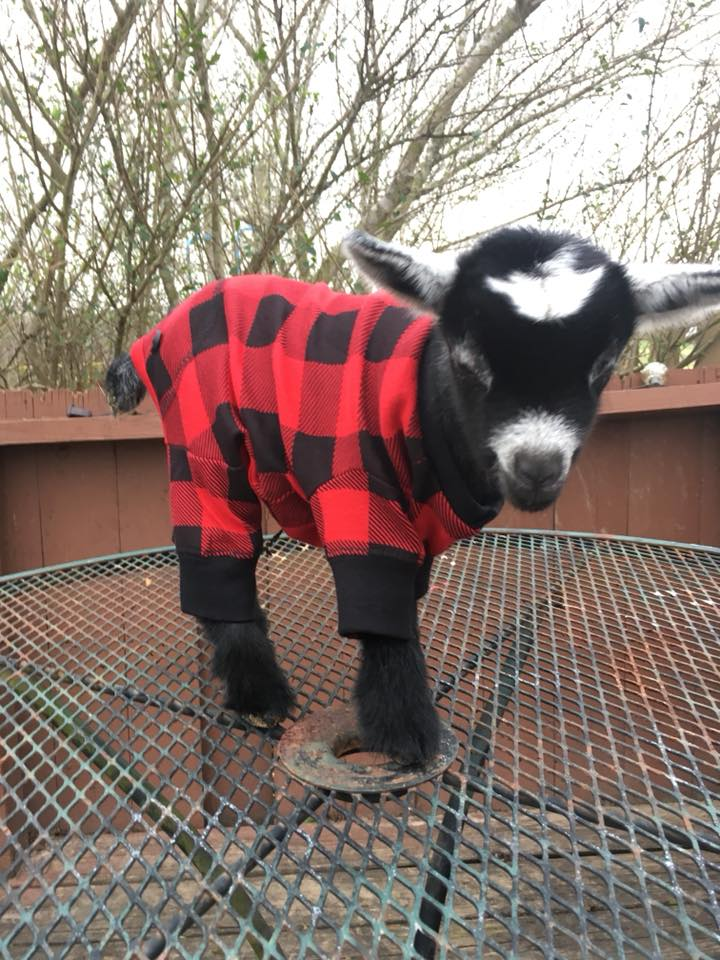 Baby Trump in his buffalo plaid <3
